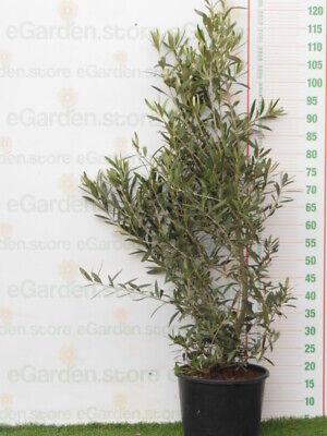 varietà leccino pianta vera da esterno di Ulivo  portamento a cespuglio v24