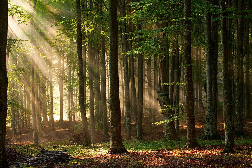 Fototapete Wald Bäume Sonnenstrahlen - Kleistertapete oder Selbstklebende Tapete