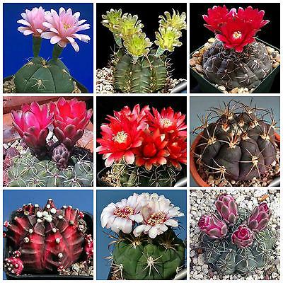20 Semi In Miscuglio Di Gymnocalycium Mix ,piante Grasse,seed Cactus Mix