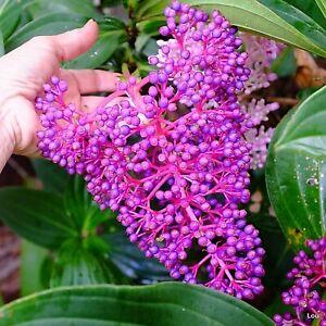Medinilla-Myriantha-MALAYASIAN-ORCHID-Indoor-Shrub-Dynamic-Flowers-1-Plant