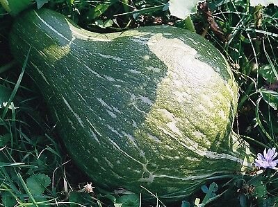 VEGETABLE  SQUASH GREEN HUBBARD  20 SEEDS