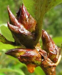 Balm-of-Gilead-Cottonwood-Bud-Salve-Biblical-Healing-Pain-Relief