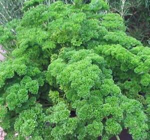 PARSLEY-SEED-MOSS-CURLED-HEIRLOOM-ORGANIC-NON-GMO-25-SEEDS-PARSLEY-SEEDS