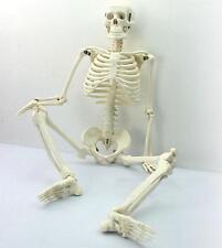Human skeleton anatomical model Size 45cm medical poster - UK