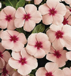 Vinca-Seeds-Pacifica-XP-Mediterranean-Apricot-With-Eye-Flower-Seeds-50-Seeds