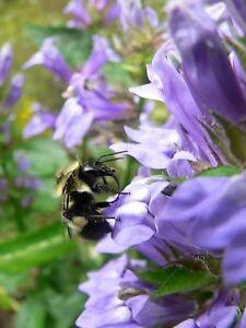 500-GREAT-BLUE-LOBELIA-Upright-Lobelia-Siphilitica-Flower-Seeds-Comb-S-H-amp-Gift