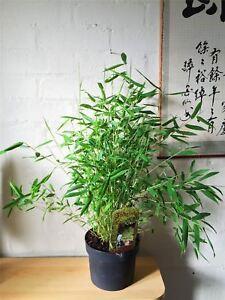 1 Bambus Winterhart Immergrun Garten Haus Pflanze In Topf Inoor