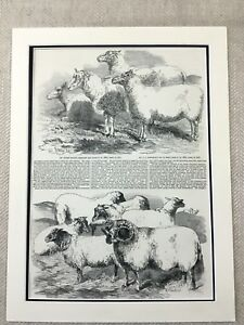 Details about Royal Agricultural Show Sheep Breeds Shearling Ram Victorian  Antique Print
