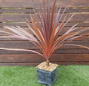 CORDYLINE-034-Red-Star-034-Plant-de-50cm