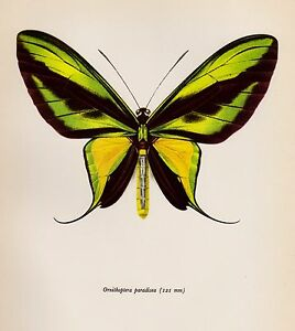 Vintage BUTTERFLY Art Print Green & Yellow Paradise Birdwing Insect Print 2142
