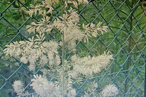 MACLEAYA CORDATA #600 5 Seeds White Spring Poppy