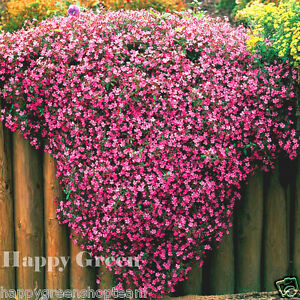 Tumbling-Ted-SOAPWORT-SAPONARIA-OCYMOIDES-700-Seeds-TRAILING-FLOWER