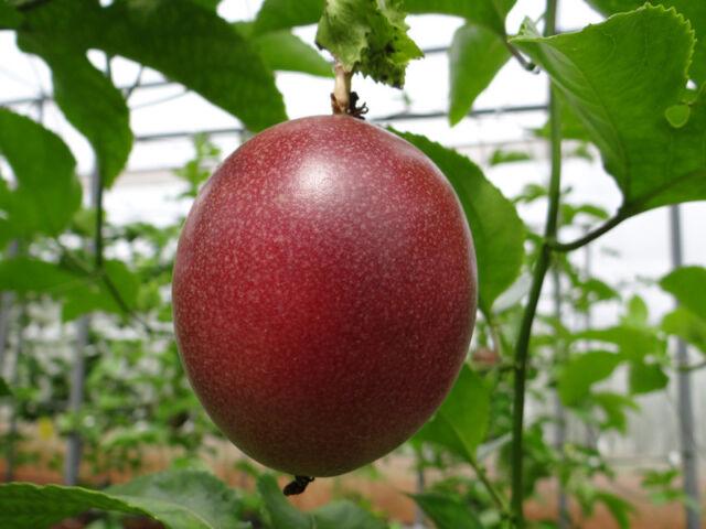 "/""Passiflora edulis /""Purple  variety 300 Fresh seeds  JAN 2020"