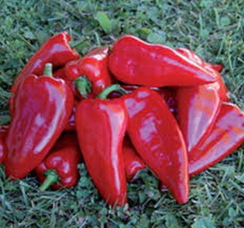 Sweet Pepper kurtovska Kapija-Vieux serbe variété! 200 graines