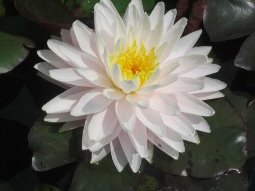 Seerose Nymphaea pessimismo du Temple sur Lot seerosen stagno pianta laghetto piante