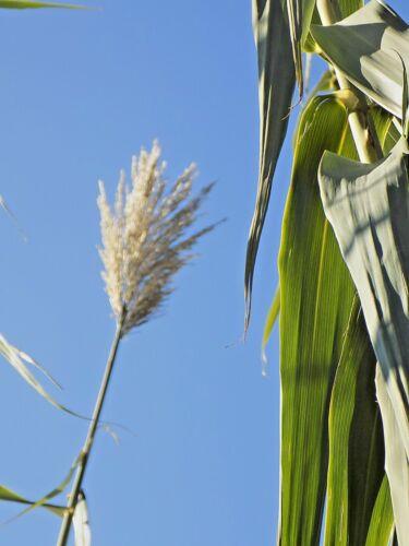 50 GIANT REED GRASS SEEDS Arundo donax 18-30 feet tall