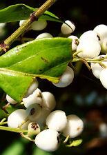 Randia aculeata, white indigoberry florida native indigo berry seed - 10 seeds