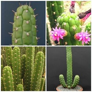 succulents seeds  R 10 seeds of Selenicereus validus cacti seed