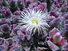 50 Samen Seeds Mittagsblume Mesembryanthemum crystallinum Eisblume Eiskraut