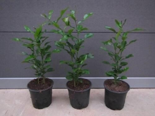 3x Citrus hystrix /'Kaffir-Limette/' Zitrus Kaffernlimette Pflanze 25-30cm