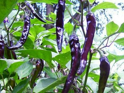 Cayenne Pepper Seeds (Purple/Black) HEIRLOOM-OPEN POLLINATED -Gorgeous and tasty