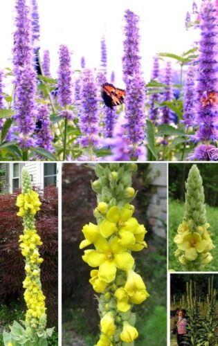 ...Samen-Set für Hummeln /& Schmetterlinge Königskerze /& Schmetterlingslakritze