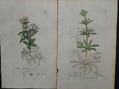 Botanicals, J. Sowerby, Copper c.1800 Plate engraving, Original Hand color g#058
