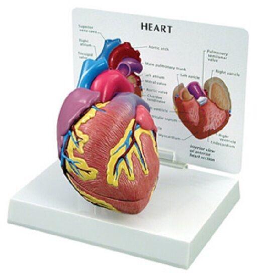 Anatomical Human Cardiac Heart Model WOW