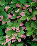Variegated Kiwi, Actinidia kolomikta, Vine Seeds (Fast, Edible, Showy, Hardy)