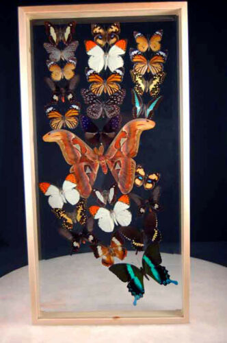 Butterfly Collection 25 Beveled double Glass Varnished