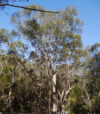 Eucalyptus Piperita Sydney Peppermint 100 Seeds Ebay