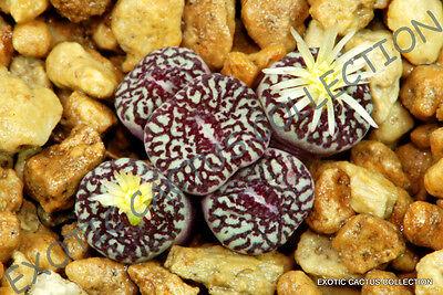 RARE CONOPHYTUM MINIMUM WITTEBERGENSE mesembs exotic succulent stones  15 SEEDS