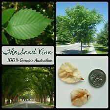 10+ AMERICAN ELM TREE SEEDS (Ulmus americana) Shade Ornamental Evergreen Bonsai