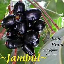~JAMUN FRUIT TREE~ Syzygium cumini INDIAN WAX APPLE Pot'd Starter NEVER BR Plant