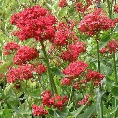 Valerian Coccinea - Centranthus Rubra - Pretty betsy - 100 seeds - Perennials