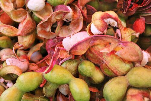 Pithecellobium dulce Quamachil 100, 250, 500, 1000 seeds