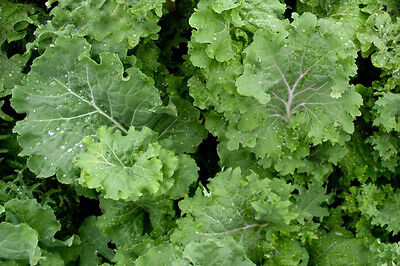 Premier Kale Seeds Early Hanover NON-GMO FREE SHIPPING Cruciferous