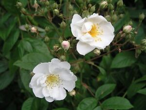 Bobby-James-Rambling-Rose-Heavy-Clusters-Of-Small-Scented-Semi-Double-Flowers