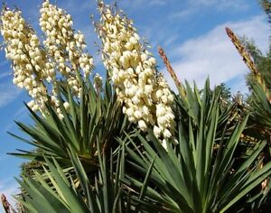 Image Is Loading 3 Yucca Plants White Flowers Large 30 Inches