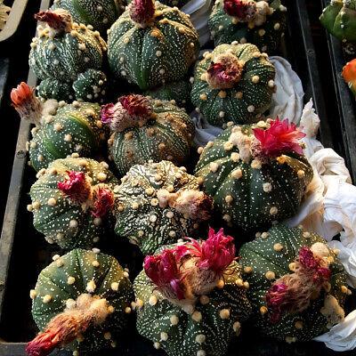 《Random selection》 Blossfeldia liliputana   ////4 Plants  cactus