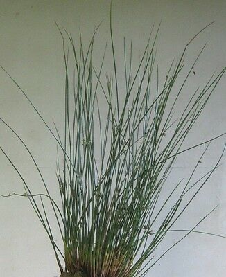 2000 Samen Flatterbinse (Juncus effusus), Binse, Teichrand, Teich, Feuchtwiese