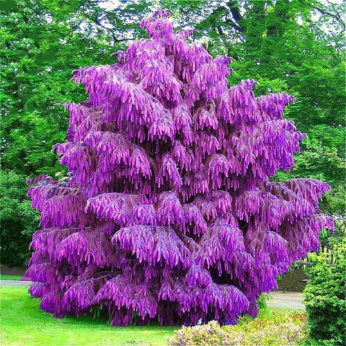 100PCS Purple Pinus Seeds Chinese Bonsai Tree Pine Seeds Garden PerenniaTPI