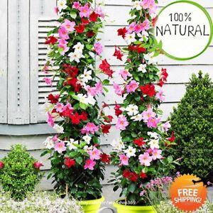 Climbing-Mandevilla-Sanderi-Seeds-Plants-Dipladenia-Bonsai-Perennial-100pcs