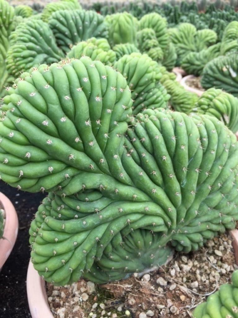 Cactus S.p.Cactus Cristaat  ( trichocereus p.)