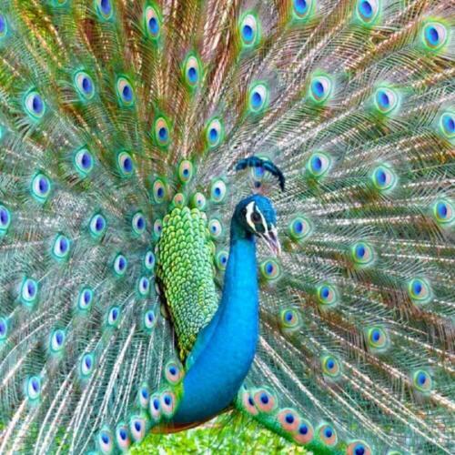 Really Wild Card Peacock Photo avec effet sonore Carte de vœux