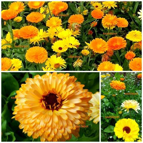 Fiesta Gitana Blumen Samen Ringelblume kompakte Mischung in vielen Farben