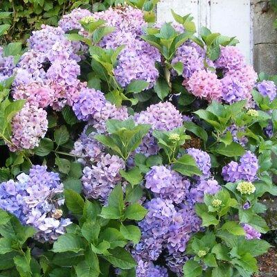 Hydrangea macrophylla 'Blaumeise' - Hortensia de jardin à boule rose ou bleue