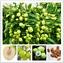 thumbnail 3 - Jujube-Bonsai-Big-Fruit-Tree-Tropical-Fruit-10-Pcs-Seeds-Plants-Home-Garden-NEW