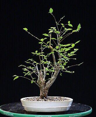 Pre Bonsai Tree Collected American Elm Cae 1020c Ebay