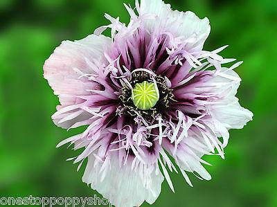 #35- 100 Poppy Flower Seeds Lavender Semi- Double
